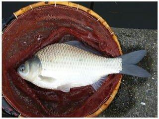 あつやさんの投稿画像,写っている魚はヘラブナ