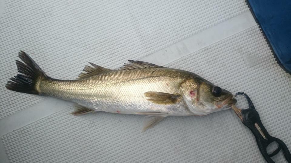 ゆうとさんの投稿画像,写っている魚はスズキ