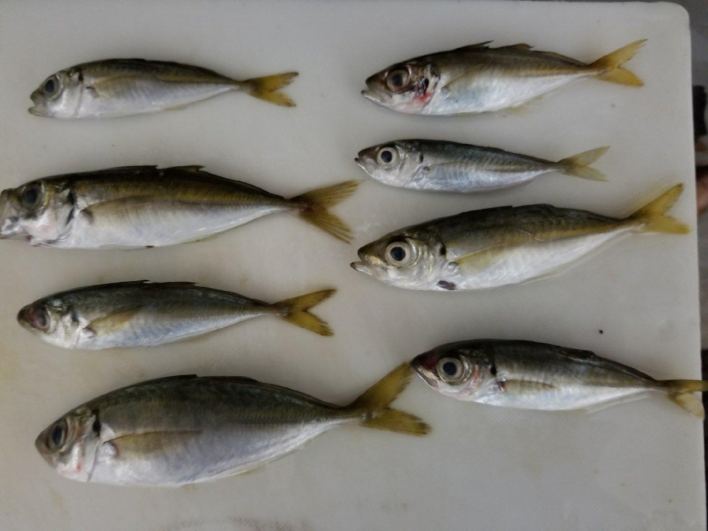 £ブランカ§さんの投稿画像,写っている魚はアジ