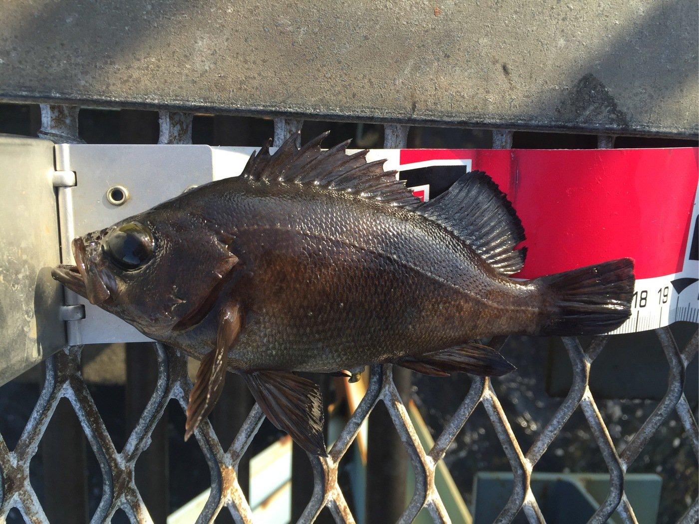 さわさんの投稿画像,写っている魚はメバル