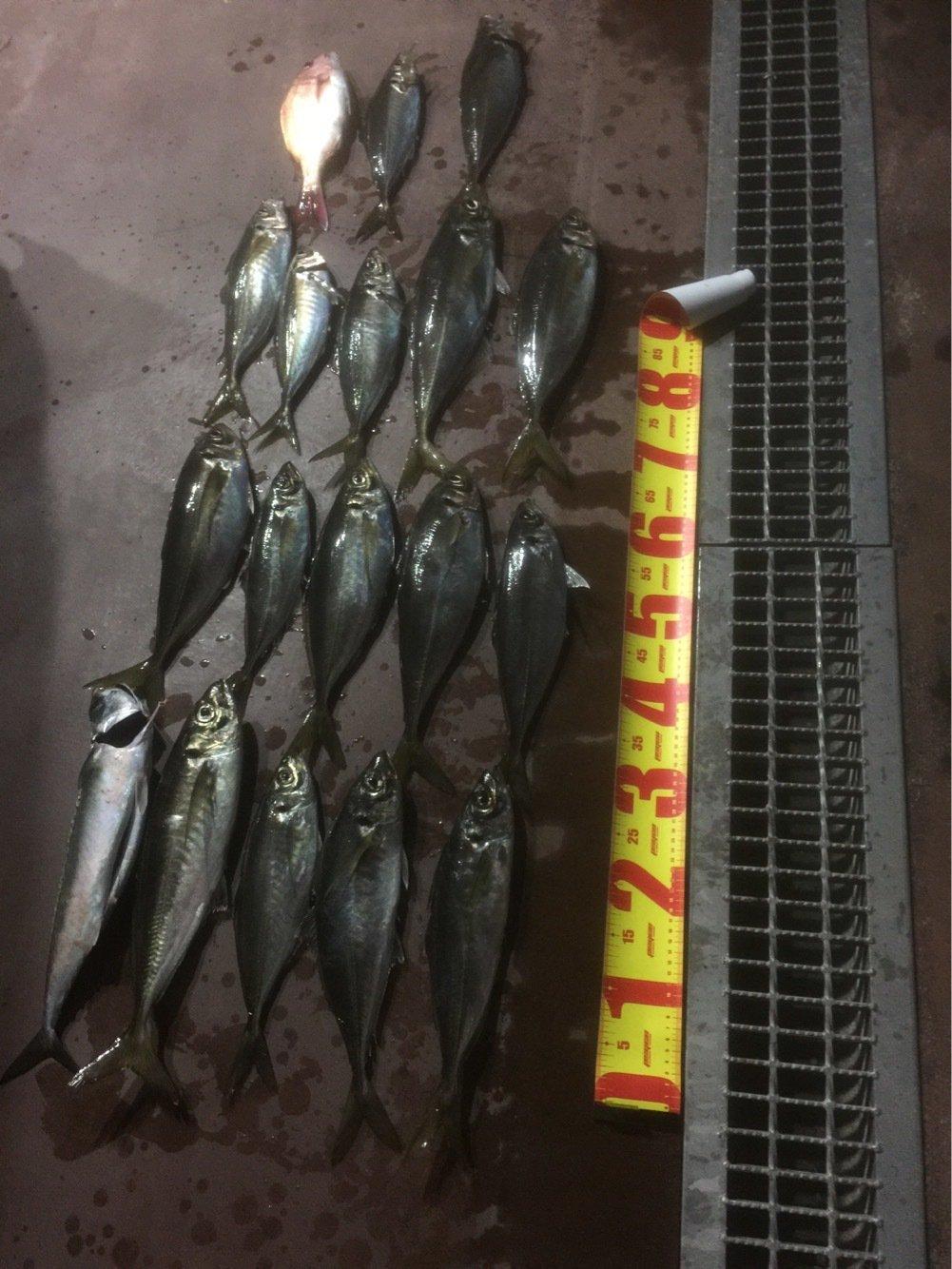 タケオさんの投稿画像,写っている魚はアジ