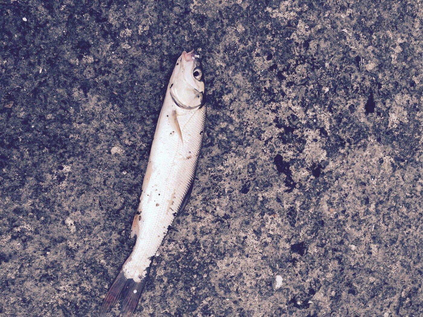 井口信之輔さんの投稿画像,写っている魚は