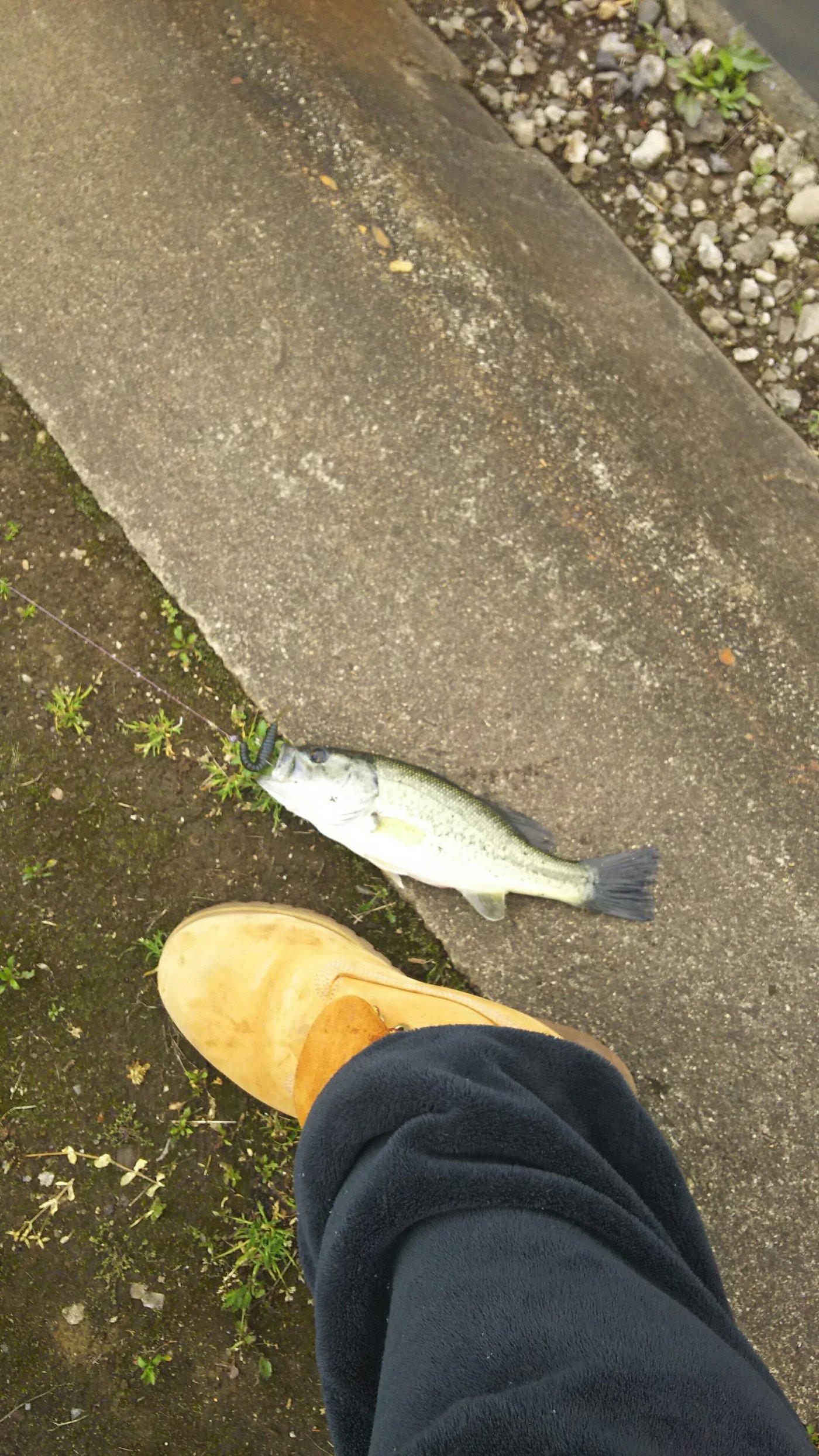 マロさんの投稿画像,写っている魚はブラックバス