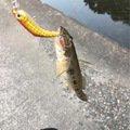 間抜けさんの三重県多気郡での釣果写真