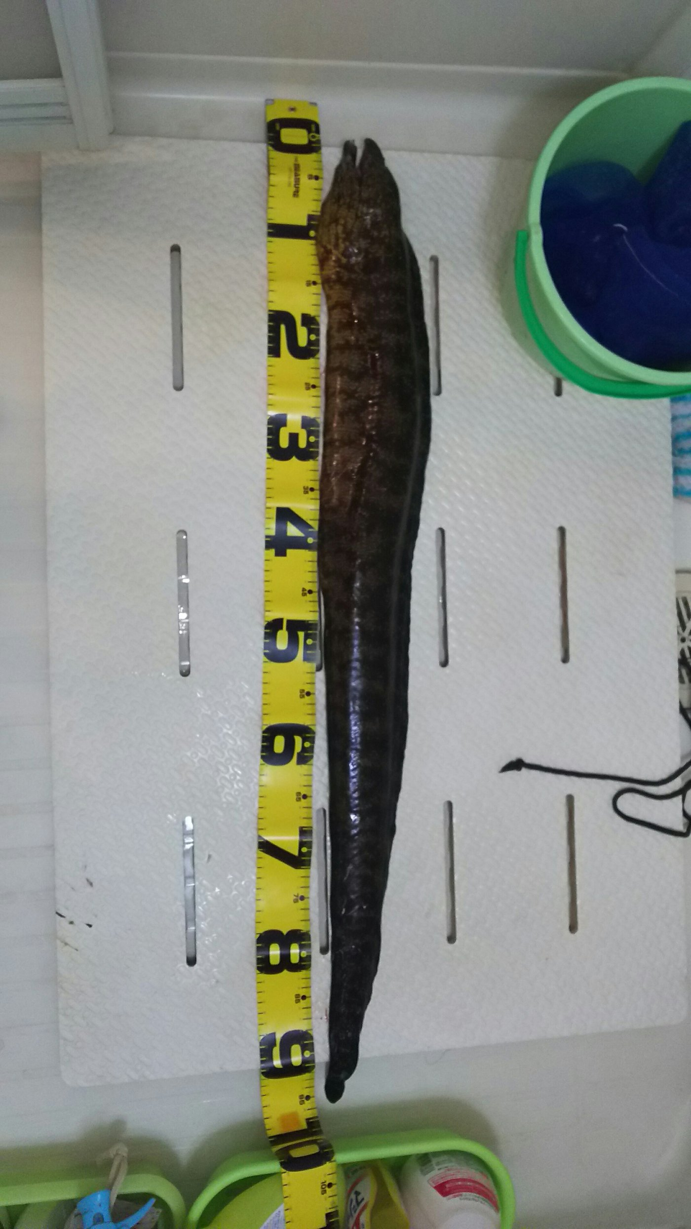 ちゃんぐむさんの投稿画像,写っている魚はウツボ