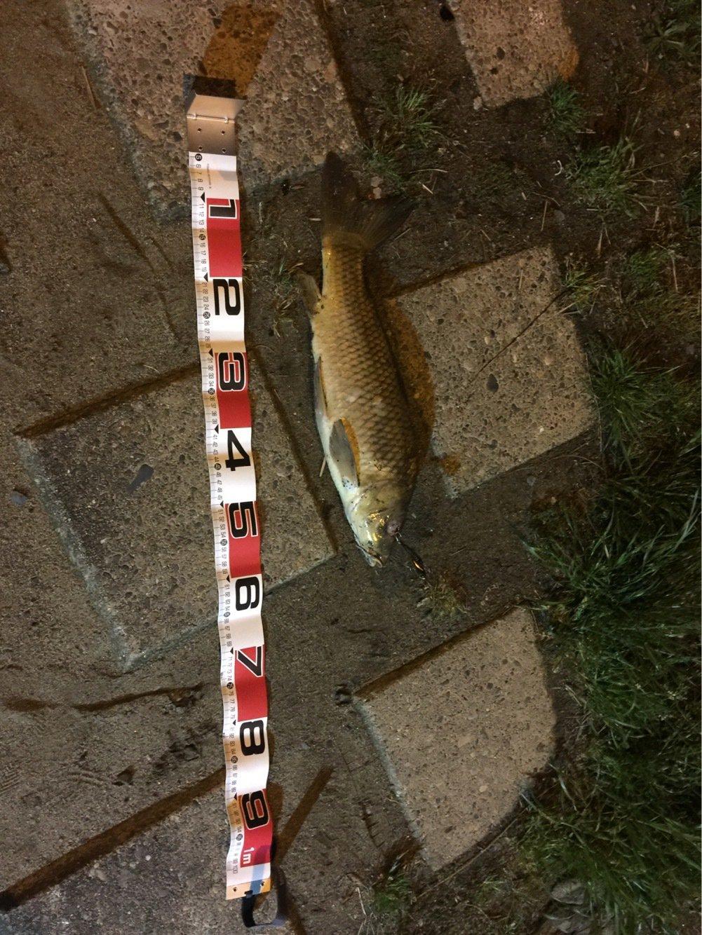 大ちゃんさんの投稿画像,写っている魚はコイ