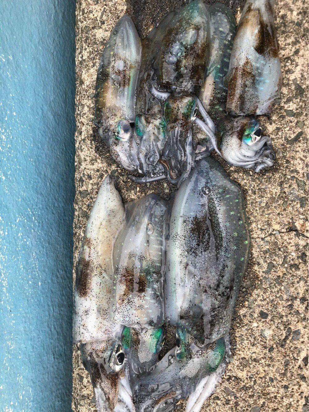 シンデレラさんの投稿画像,写っている魚はアオリイカ