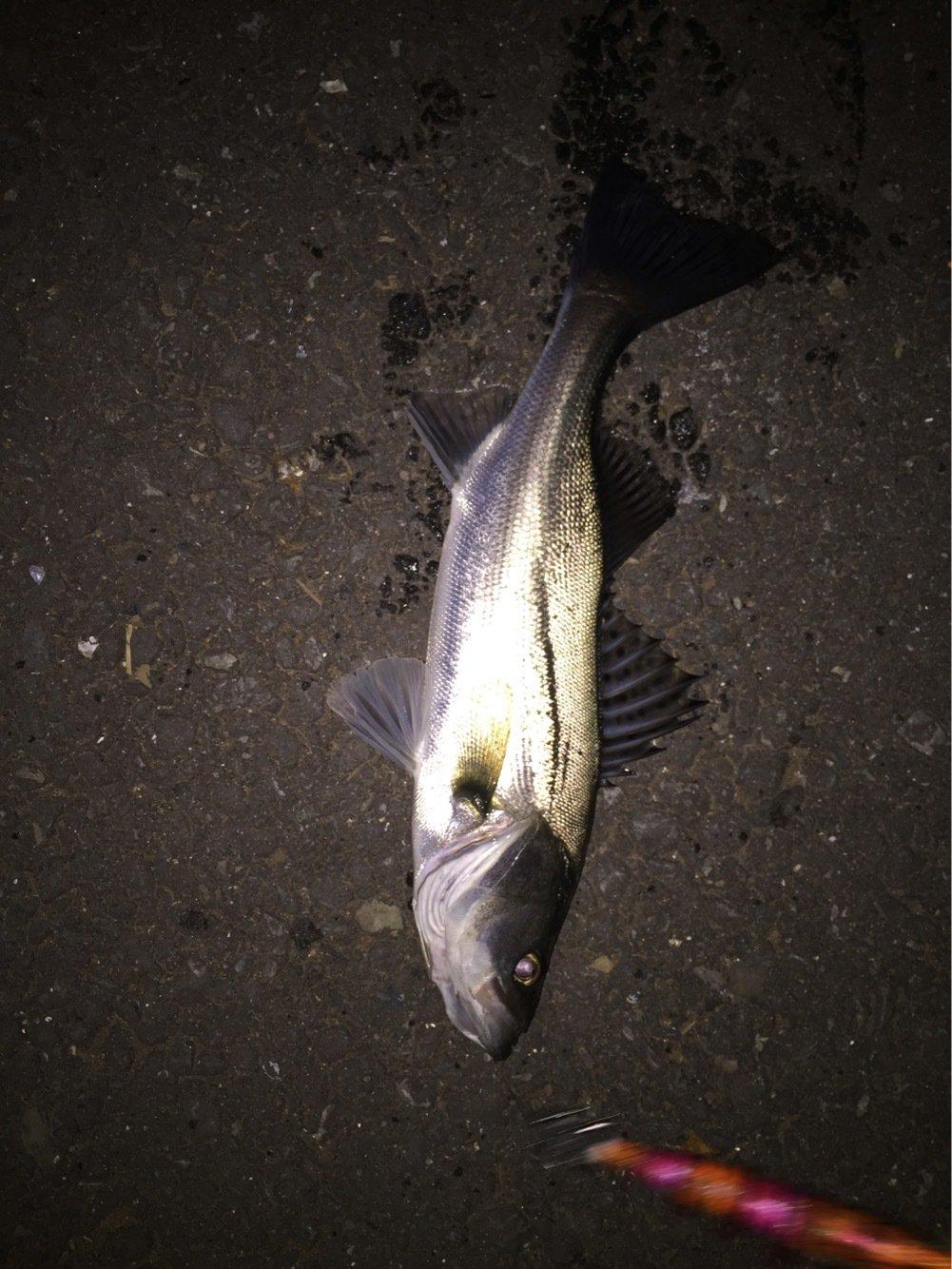 のでぃさんの投稿画像,写っている魚はスズキ
