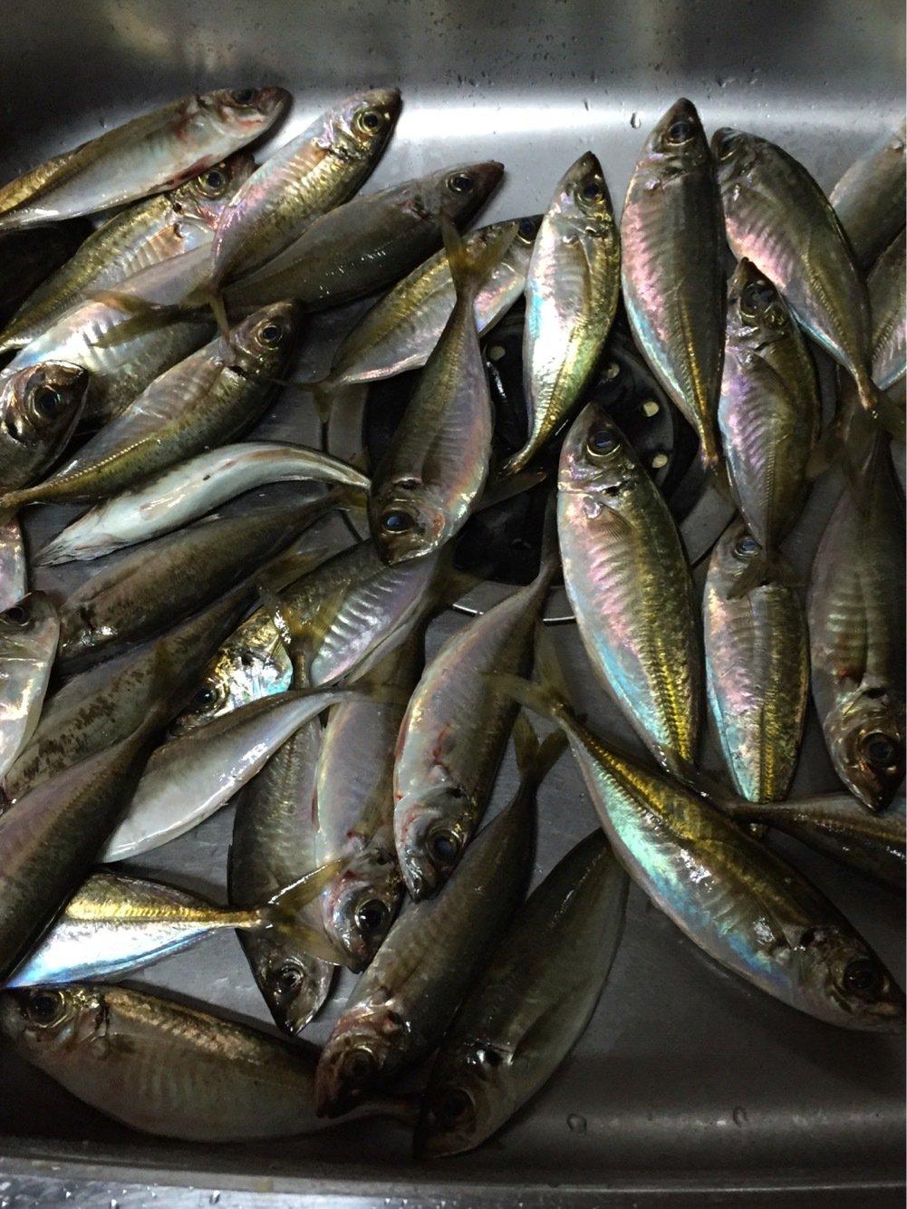 ヨッシーK2さんの投稿画像,写っている魚はアジ