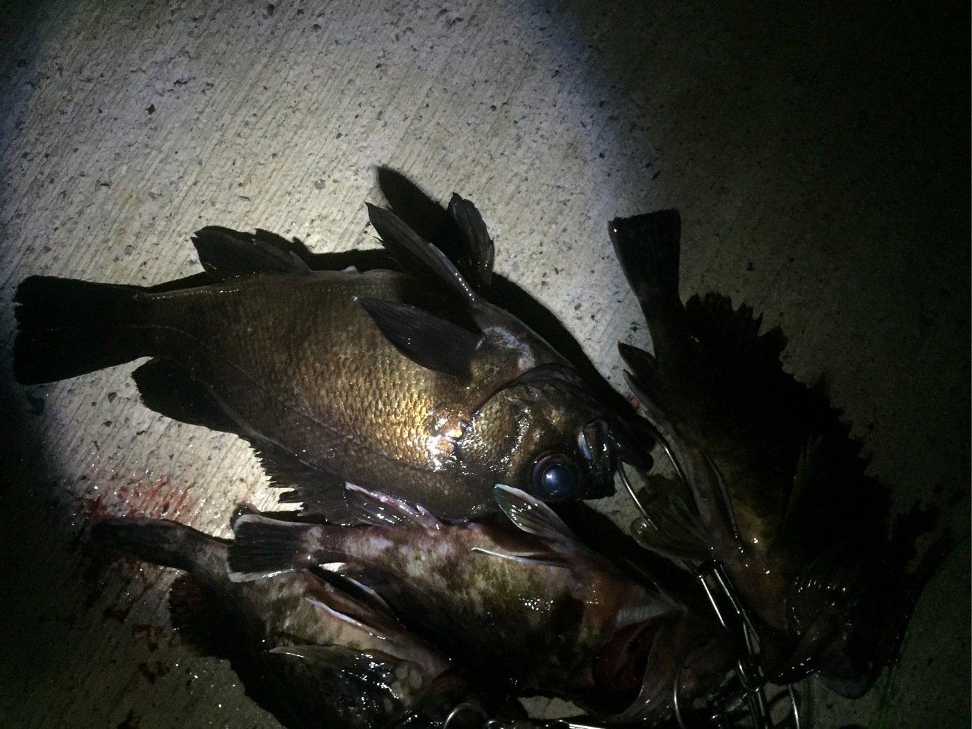 はたかつさんの投稿画像,写っている魚はメバル