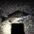 昭ちゃん 金賞コロッケ1号さんの大分県佐伯市でのクロダイの釣果写真