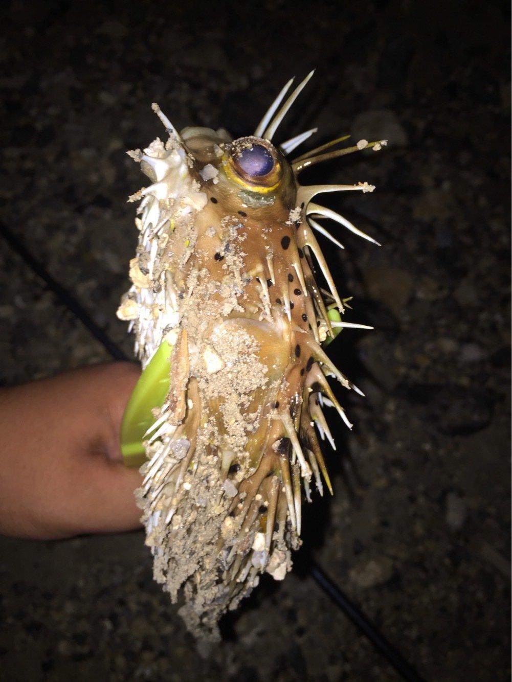 ユウキさんの投稿画像,写っている魚はハリセンボン