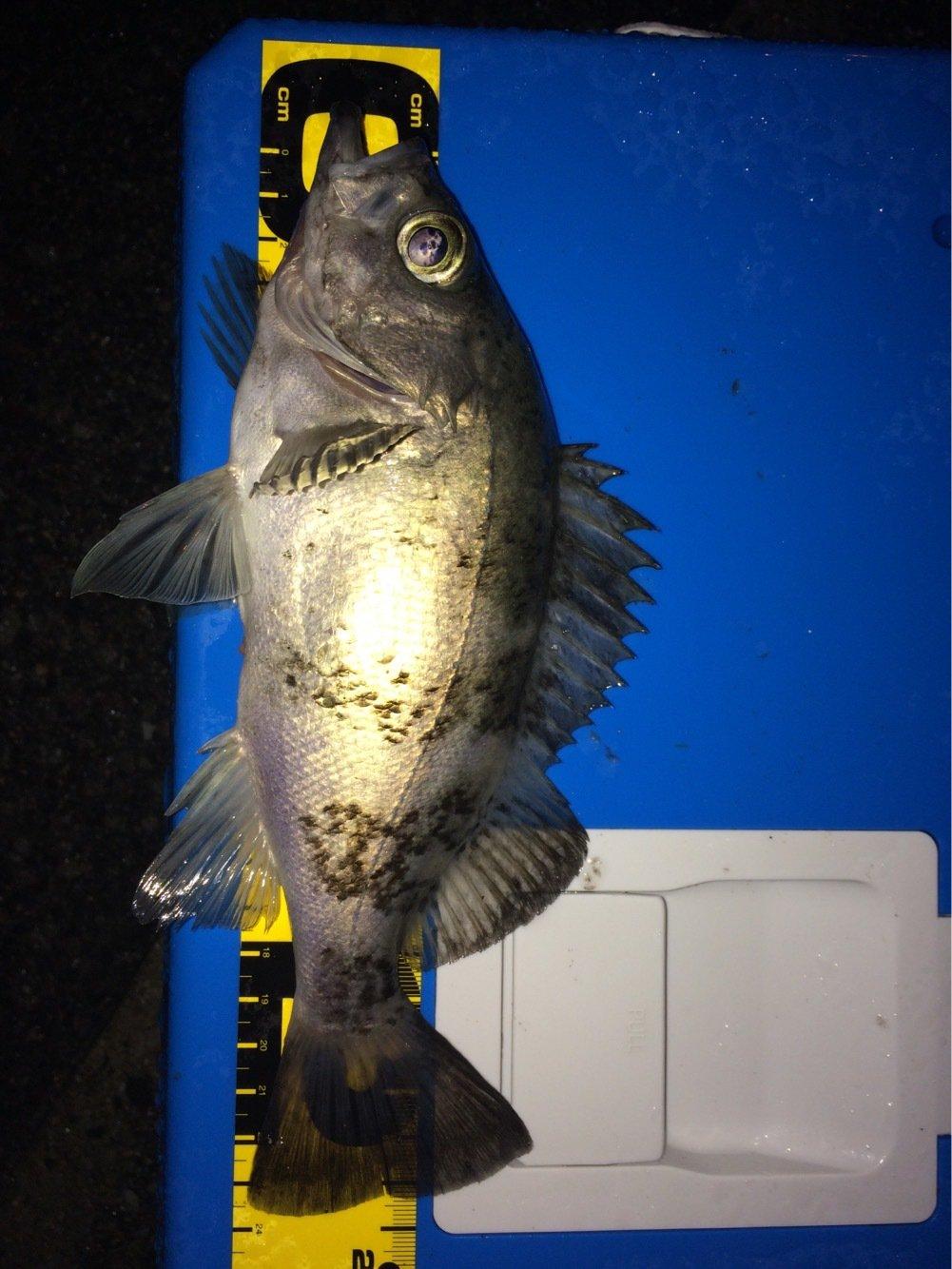 おっちょさんの投稿画像,写っている魚はメバル