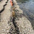 ぐーらしこーじさんの長崎県雲仙市でのアオリイカの釣果写真