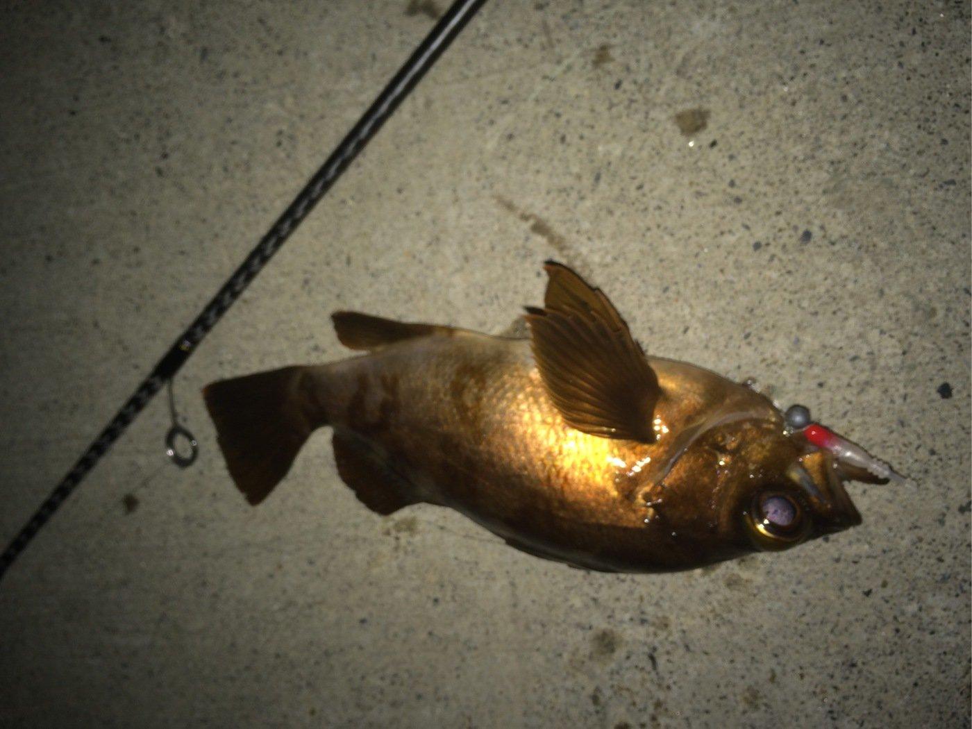 wideglideさんの投稿画像,写っている魚はメバル