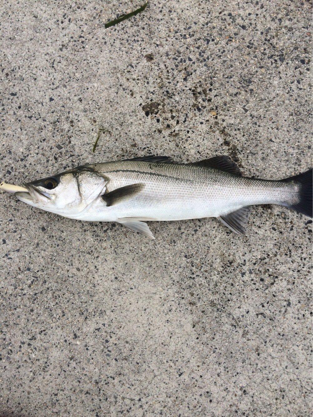 海坊主さんの投稿画像,写っている魚はスズキ