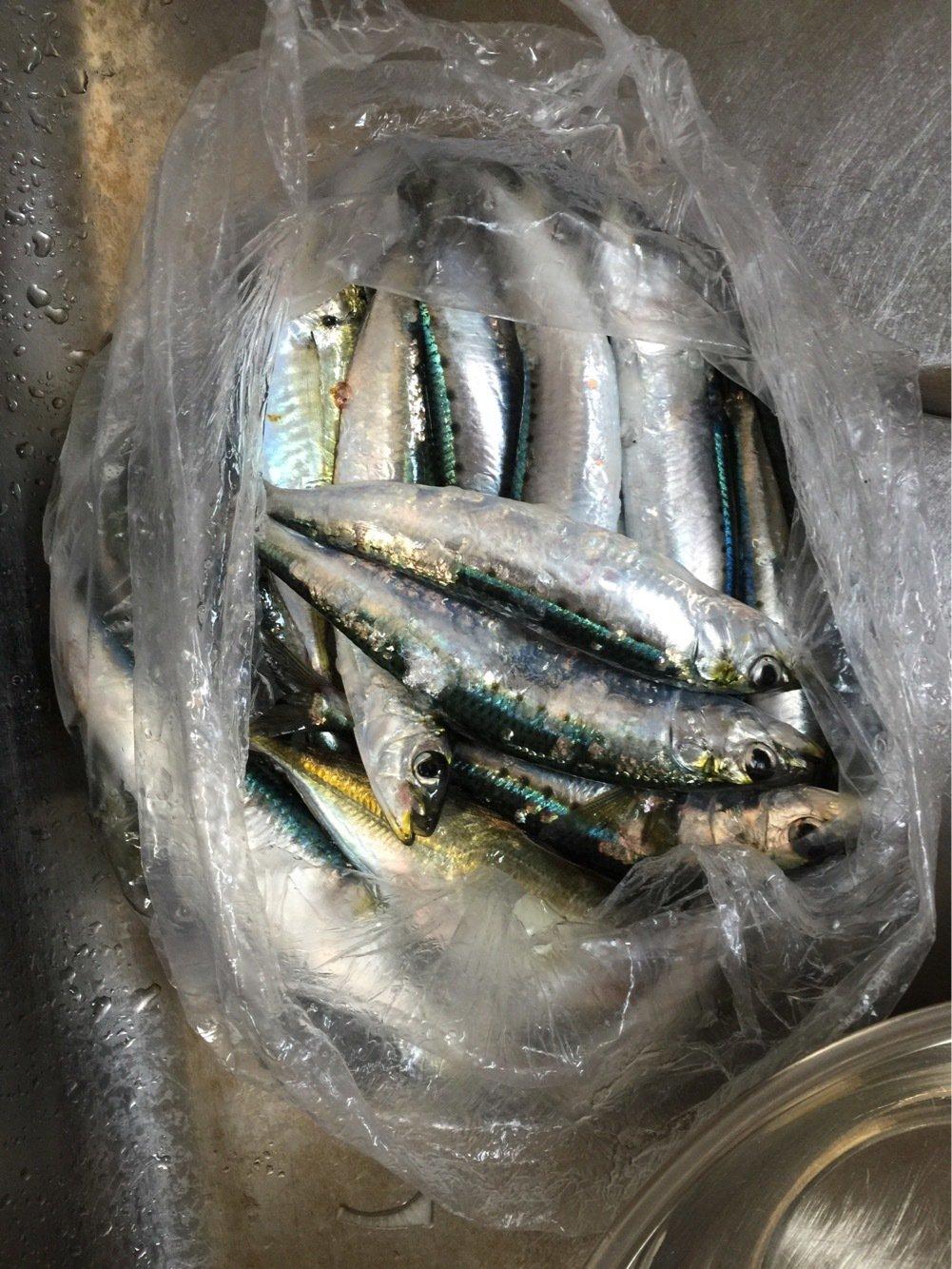 ひろっちゃんさんの投稿画像,写っている魚はマイワシ