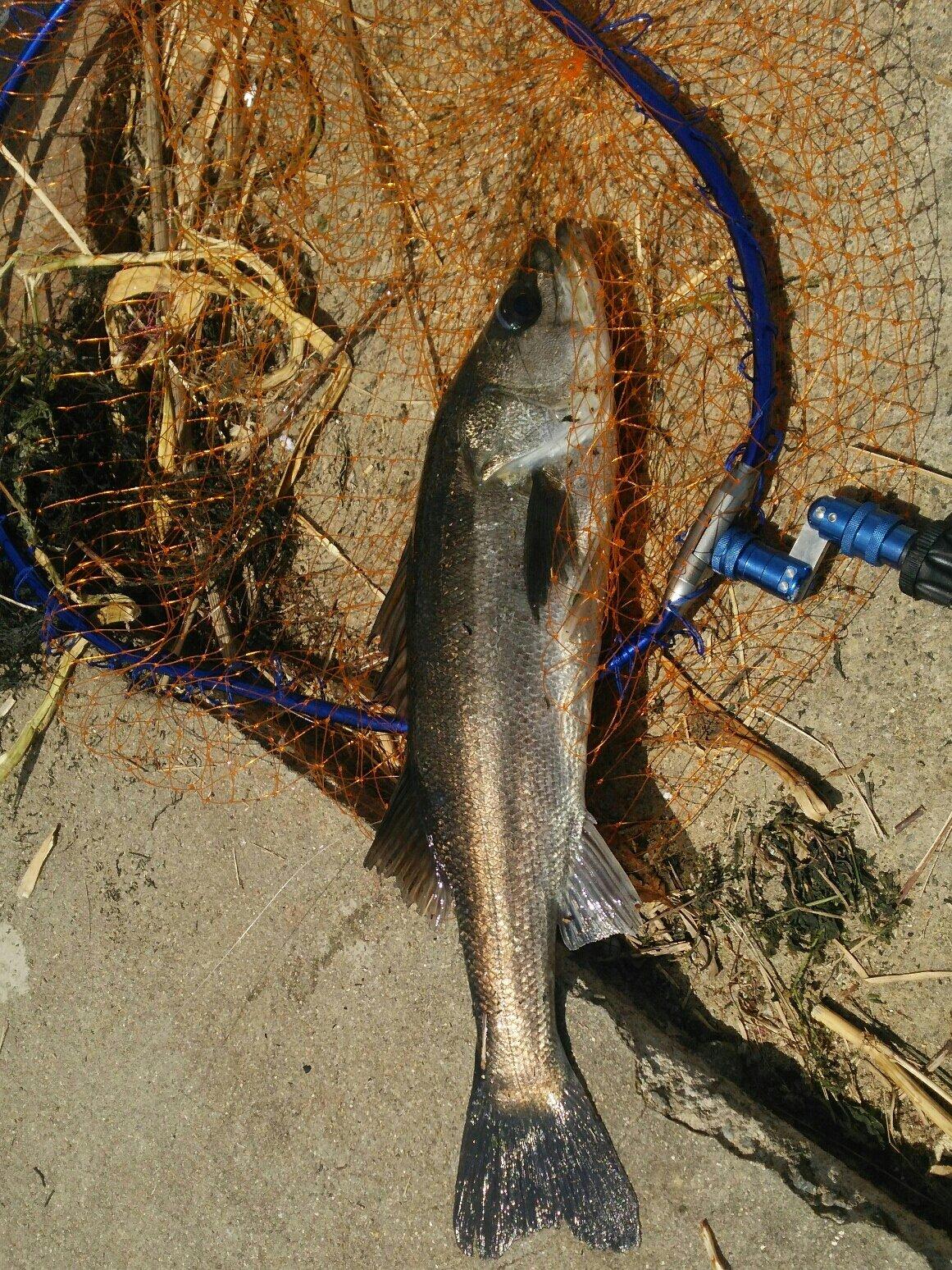 山本脩平さんの投稿画像,写っている魚はスズキ