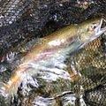 れんさんの青森県三戸郡での釣果写真