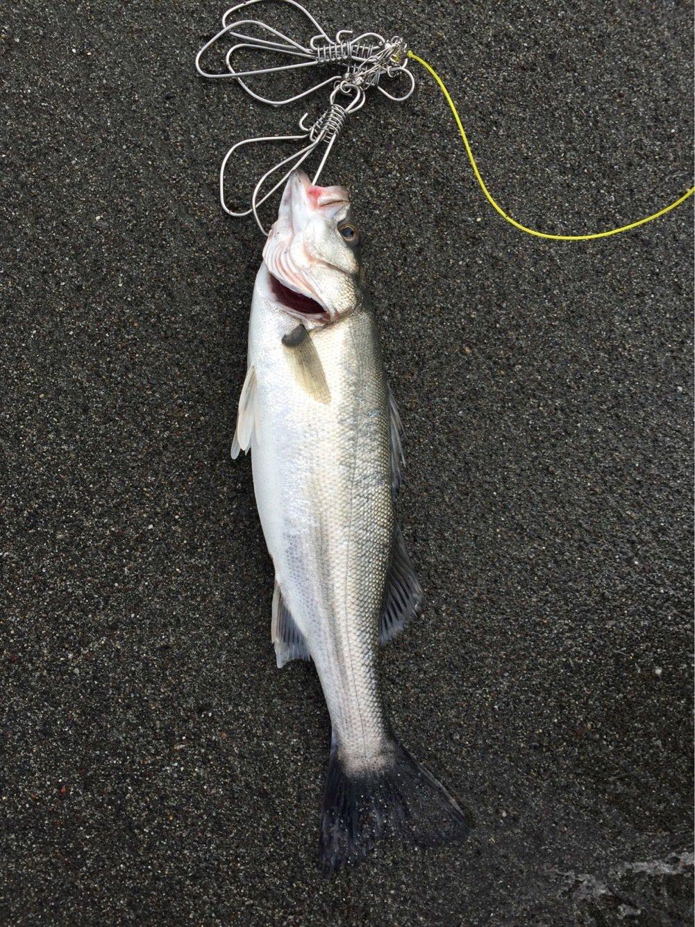 にぃにぃさんの投稿画像,写っている魚はスズキ