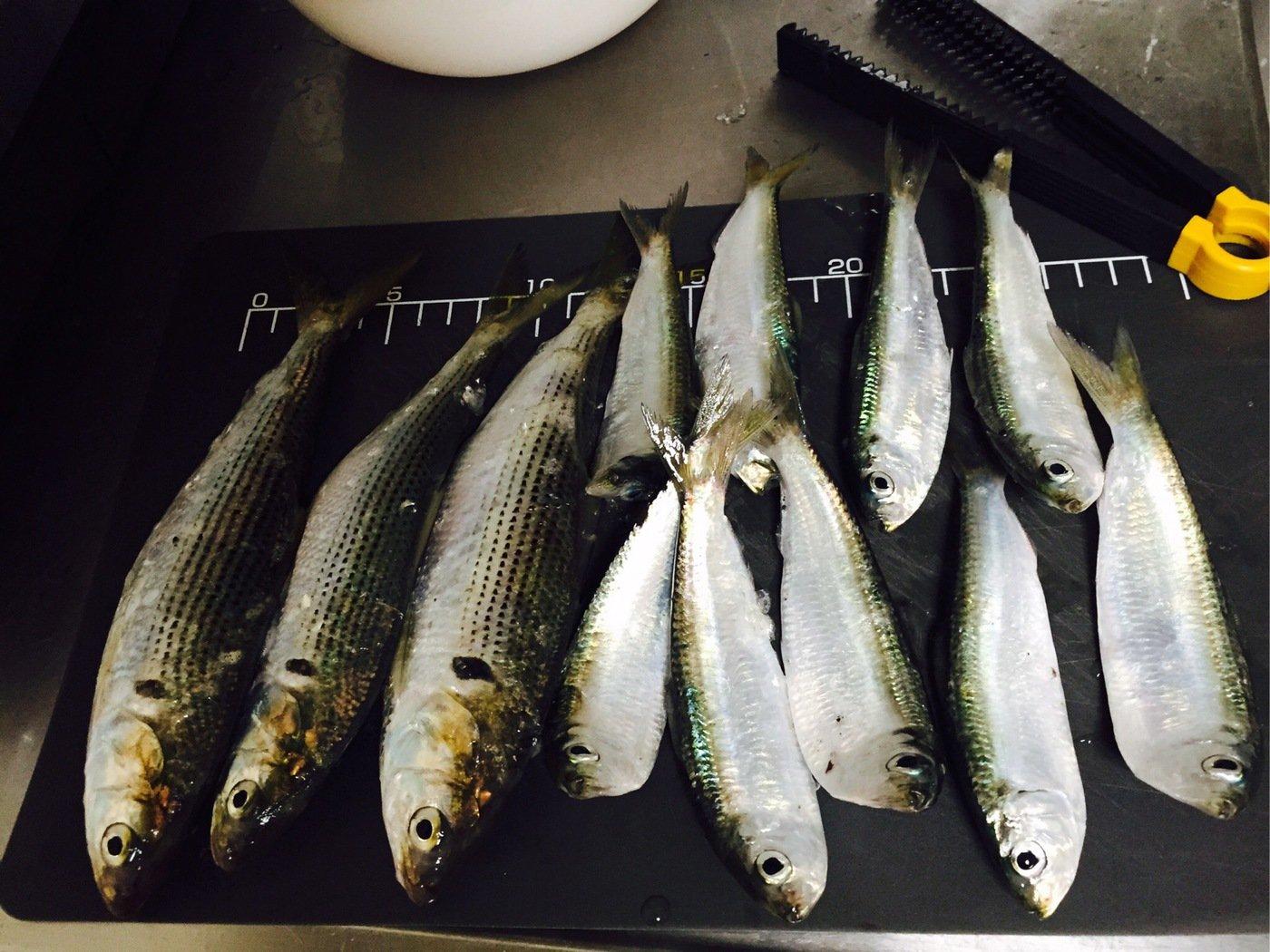 花京院典明さんの投稿画像,写っている魚はコノシロ