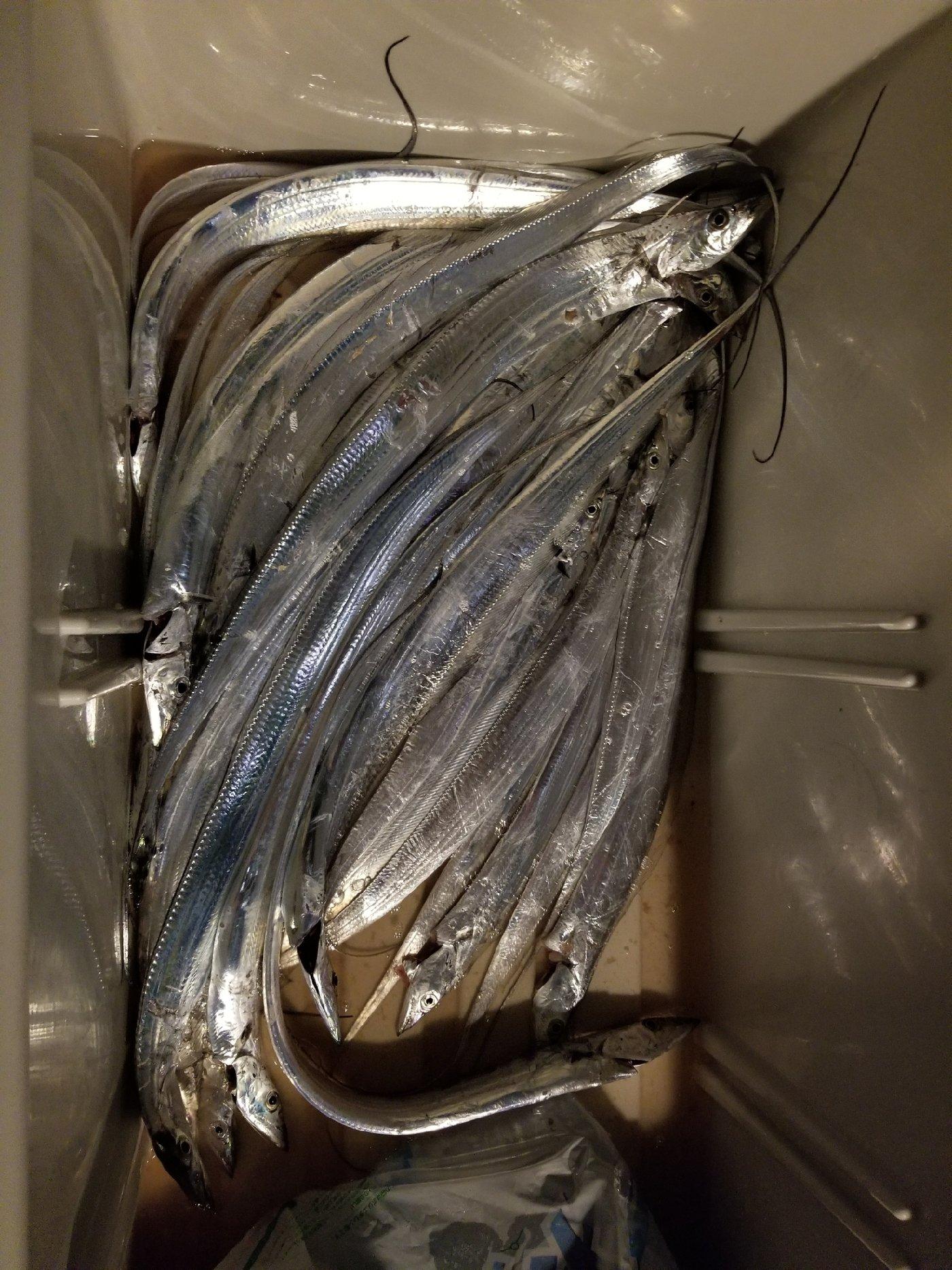 ヒデポンさんの投稿画像,写っている魚はタチウオ