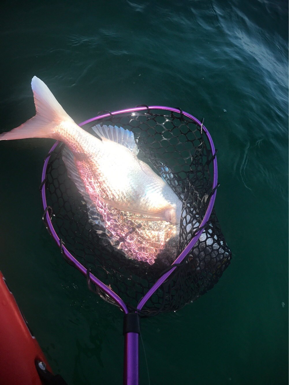 もっぴーさんの投稿画像,写っている魚はマダイ