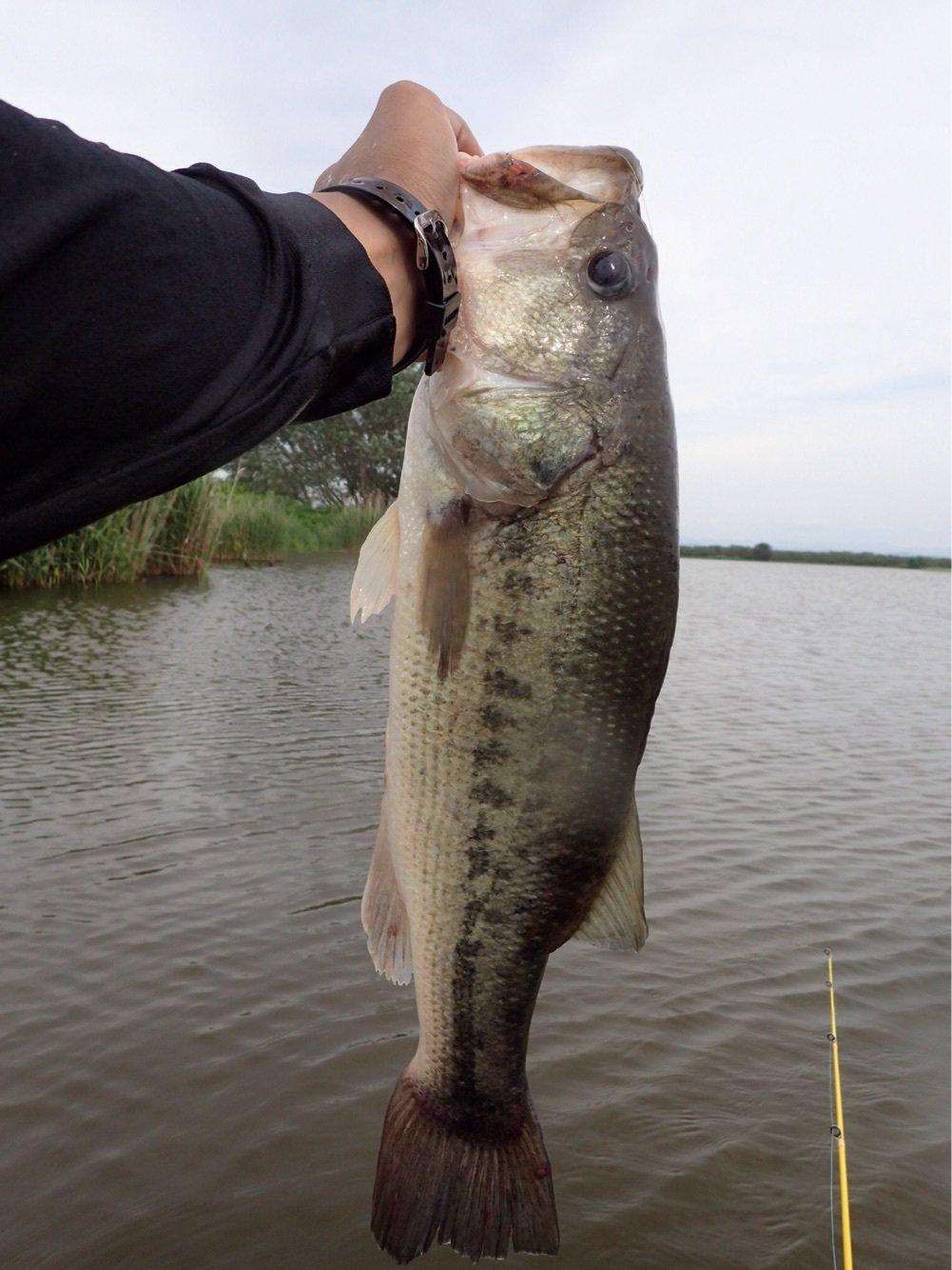 N' HAYATOさんの投稿画像,写っている魚はブラックバス