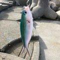 小能拓己さんのタカサゴの釣果写真
