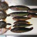 へっぽこズボ釣り師さんの兵庫県明石市でのカワハギの釣果写真
