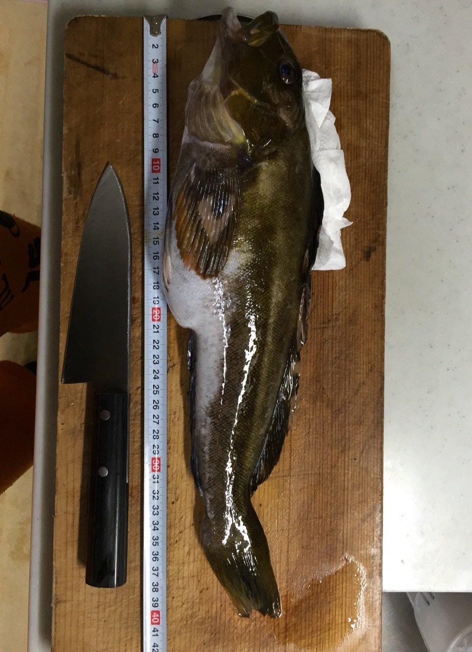 たかまっちゃんさんの投稿画像,写っている魚はアイナメ