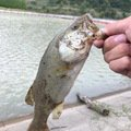 ハッピーターン!さんの新潟県南蒲原郡での釣果写真