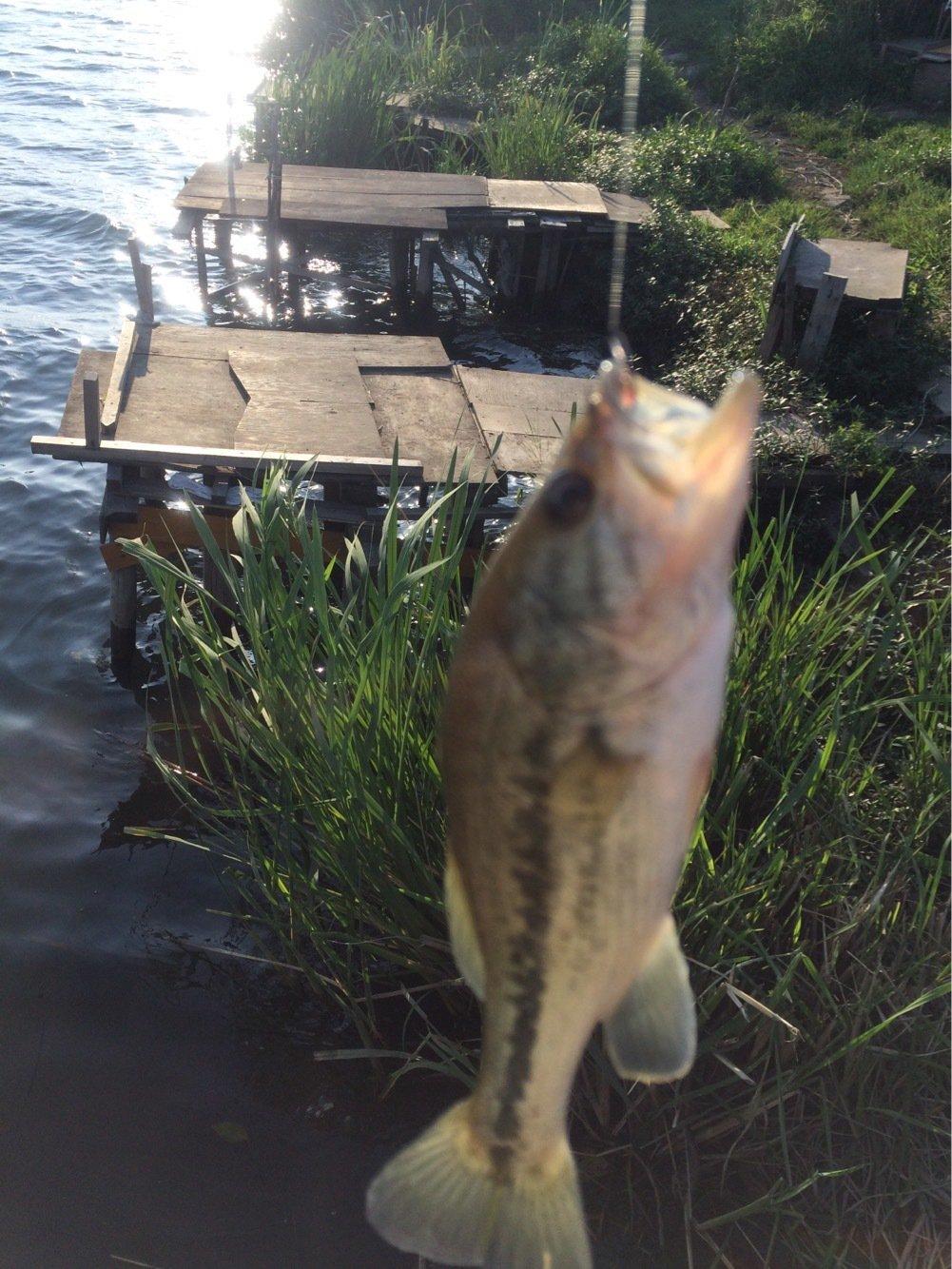 CIMAさんの投稿画像,写っている魚はブラックバス