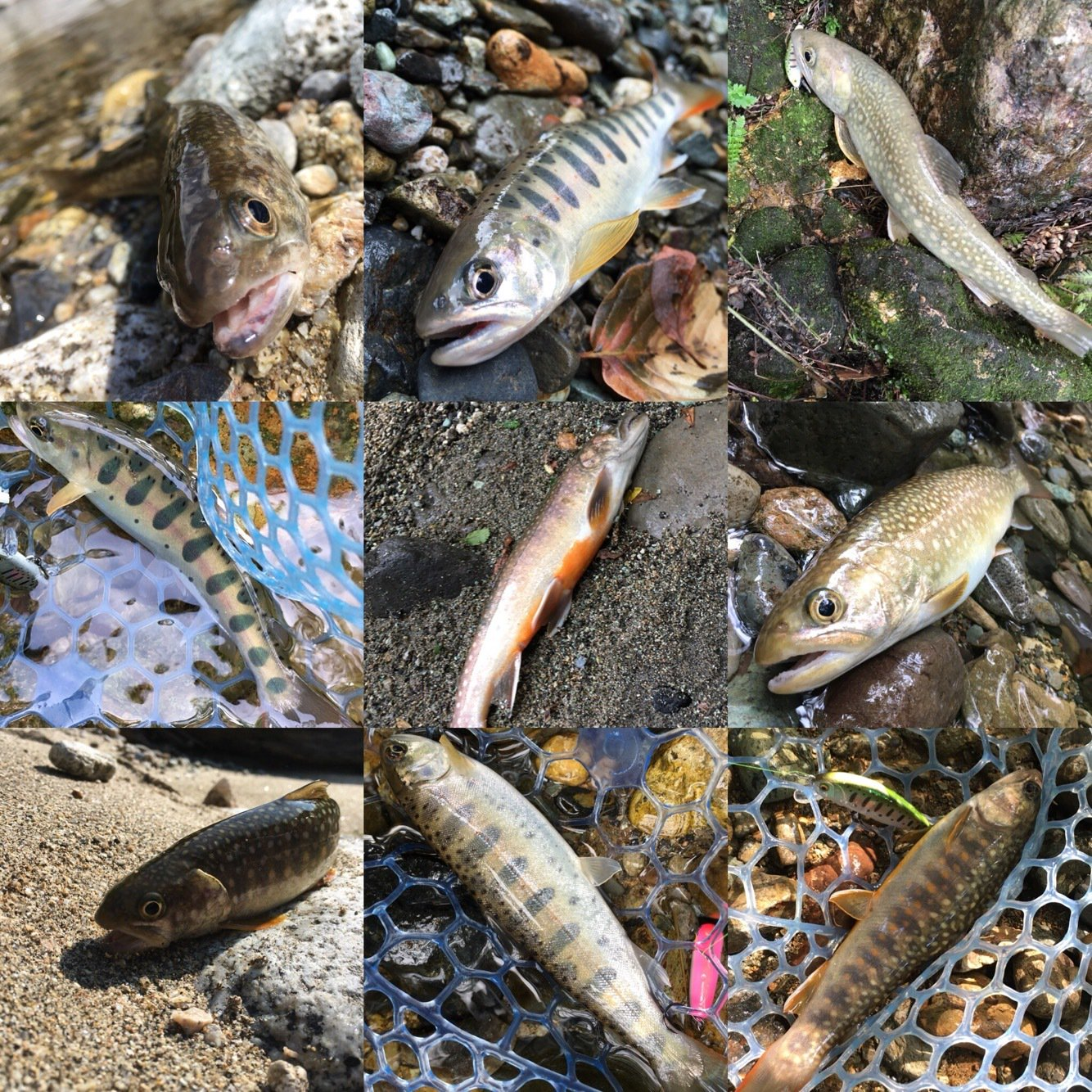 きーくんさんの投稿画像,写っている魚はイワナ