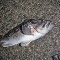 カペリンさんの北海道浦河郡での釣果写真