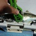 ステカセキングさんの宮崎県西諸県郡での釣果写真
