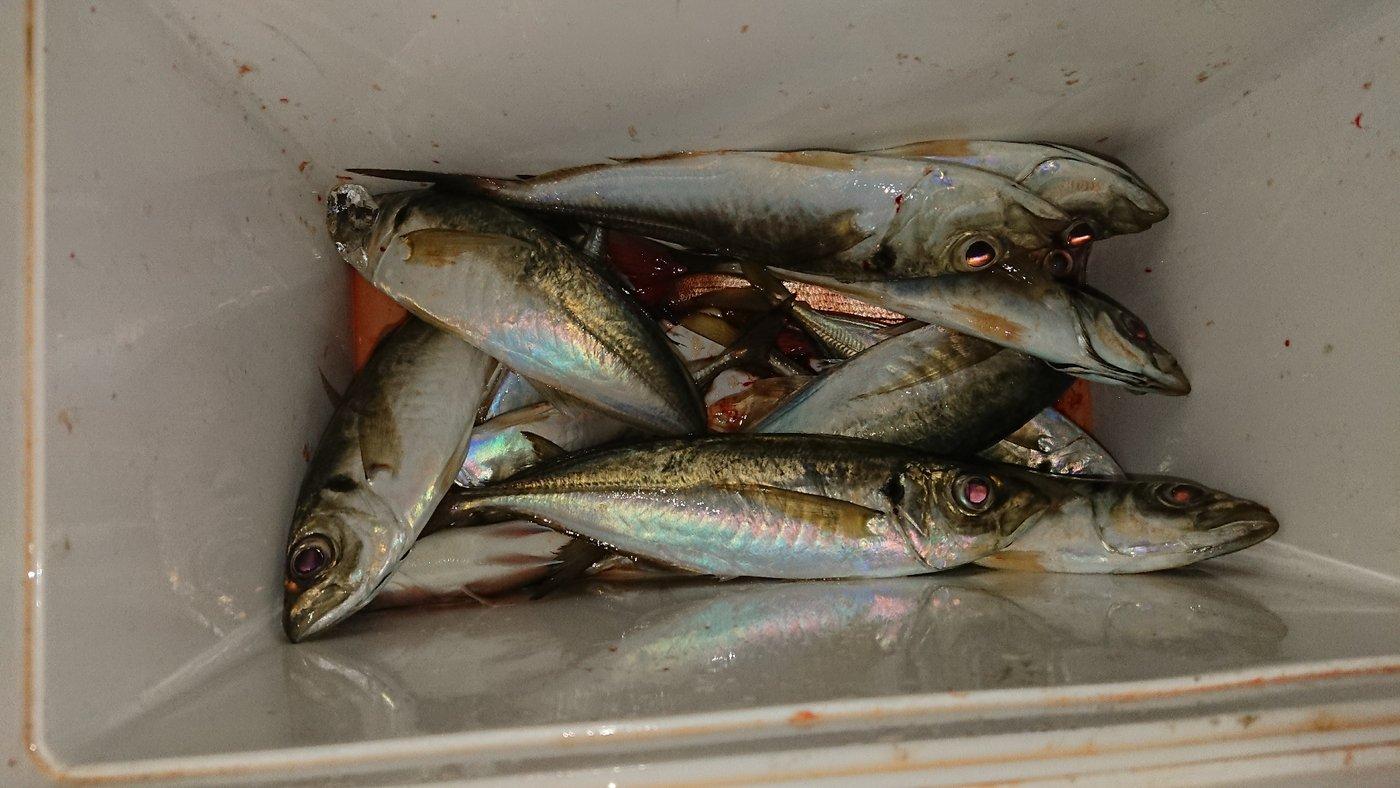 ステカセキングさんの投稿画像,写っている魚はアジ