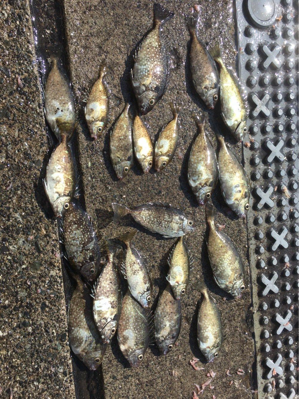ヨッシーさんの投稿画像,写っている魚はアイゴ