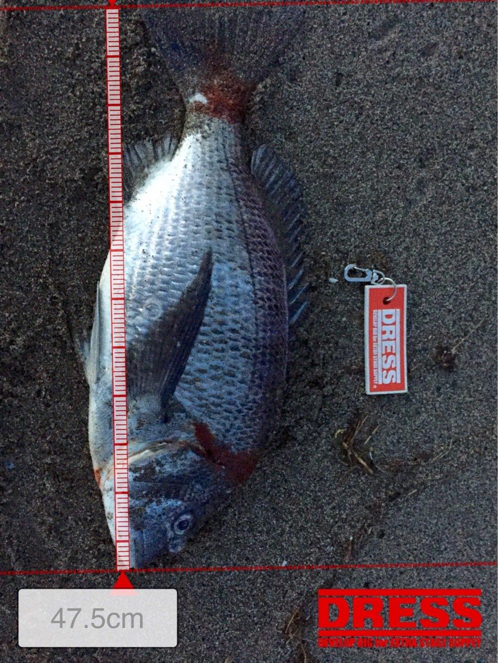 たかまっちゃんさんの投稿画像,写っている魚はクロダイ