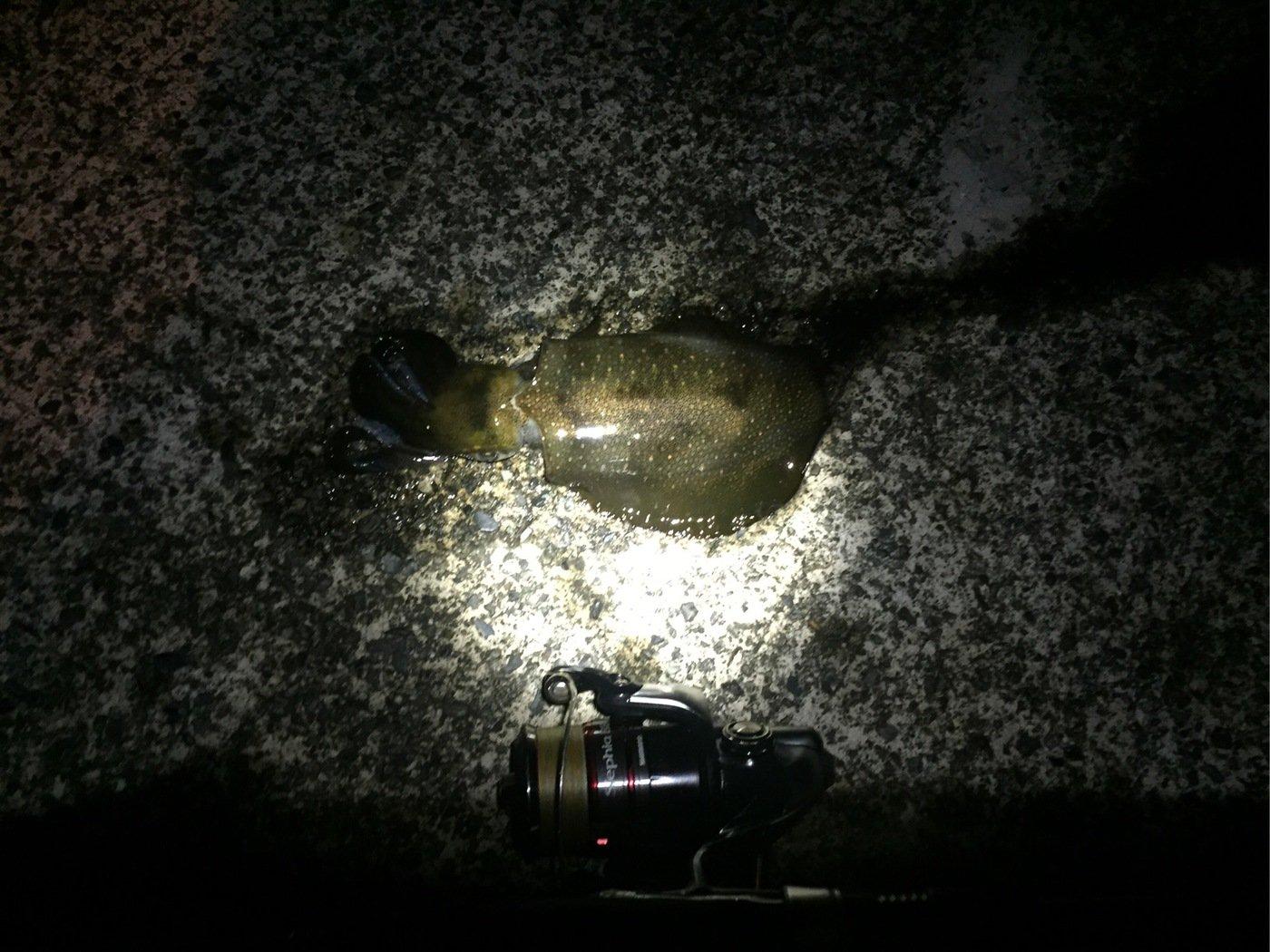 ゆうりパパさんの投稿画像,写っている魚はアオリイカ