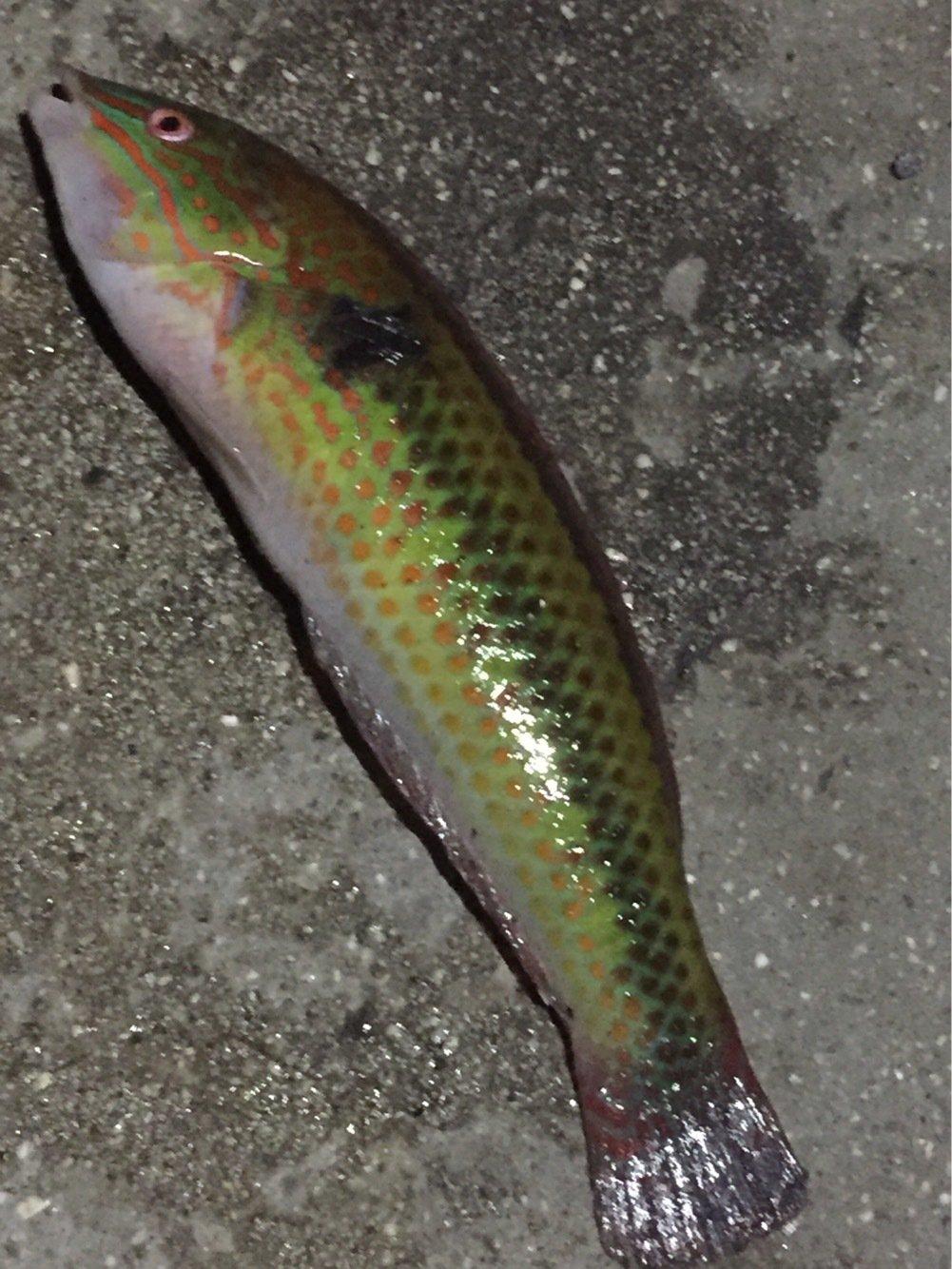 シーバス聖闘士さんの投稿画像,写っている魚はキュウセン