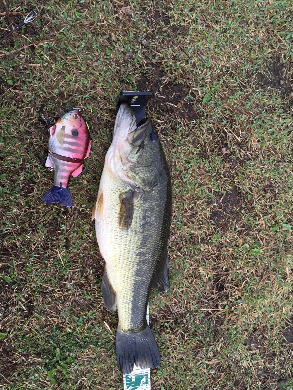 ユウさんの投稿画像,写っている魚はブラックバス