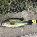 マエビさんの千葉県印旛郡での釣果写真