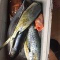 Kiribayashiさんのマグロの釣果写真