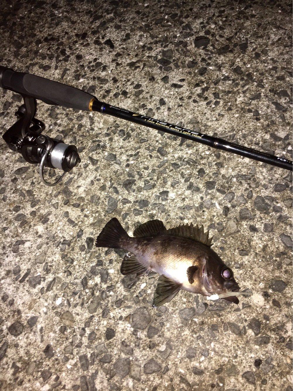 カメさんの投稿画像,写っている魚はメバル