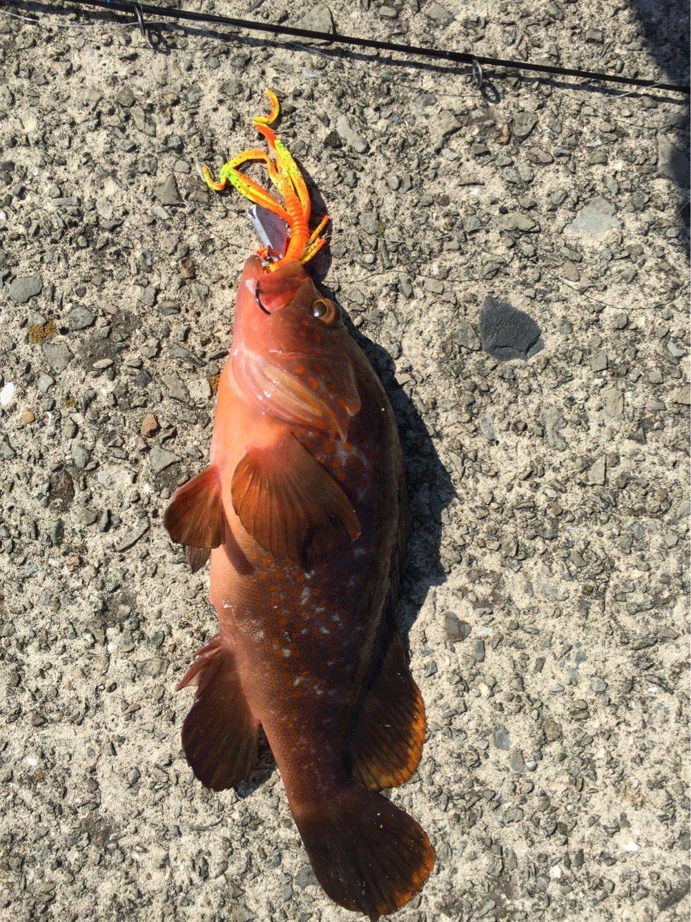 まおっちさんの投稿画像,写っている魚はキジハタ