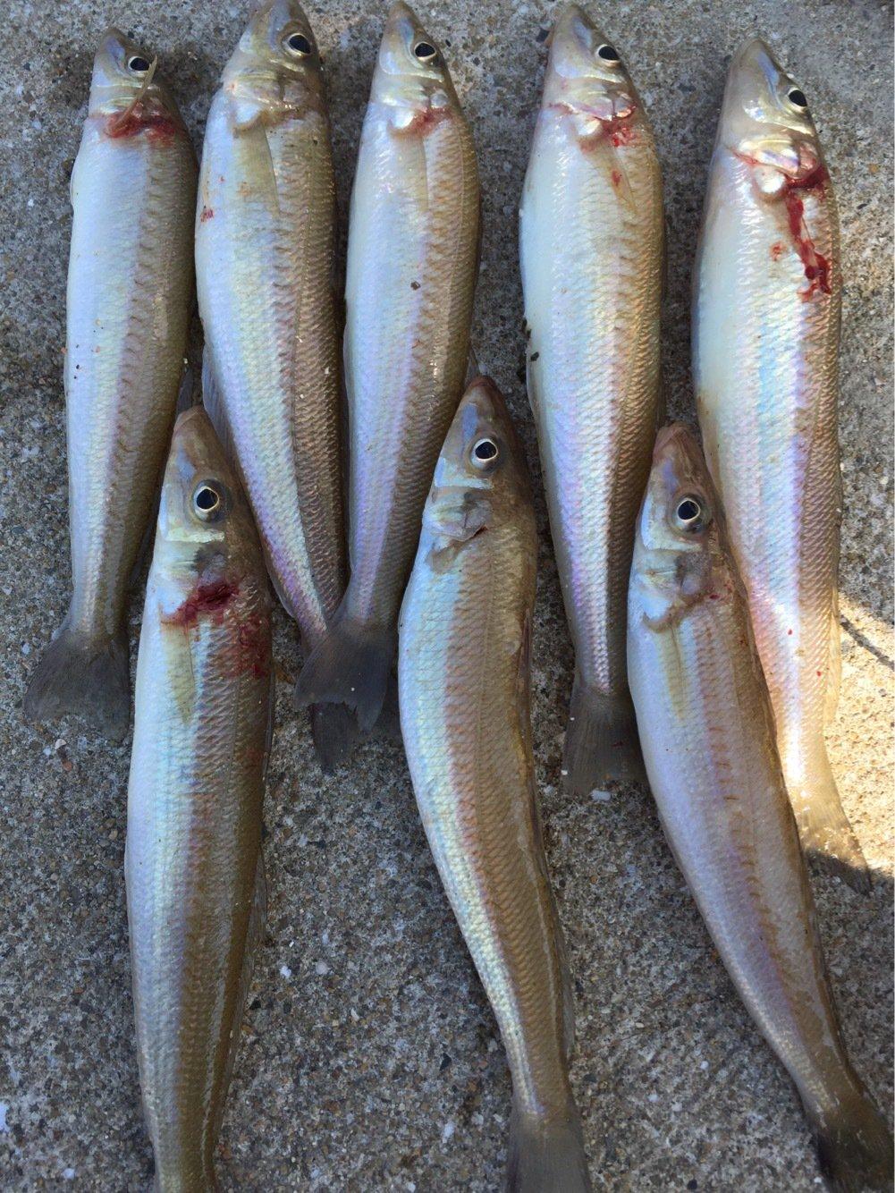 ヨッシーK2さんの投稿画像,写っている魚はシロギス