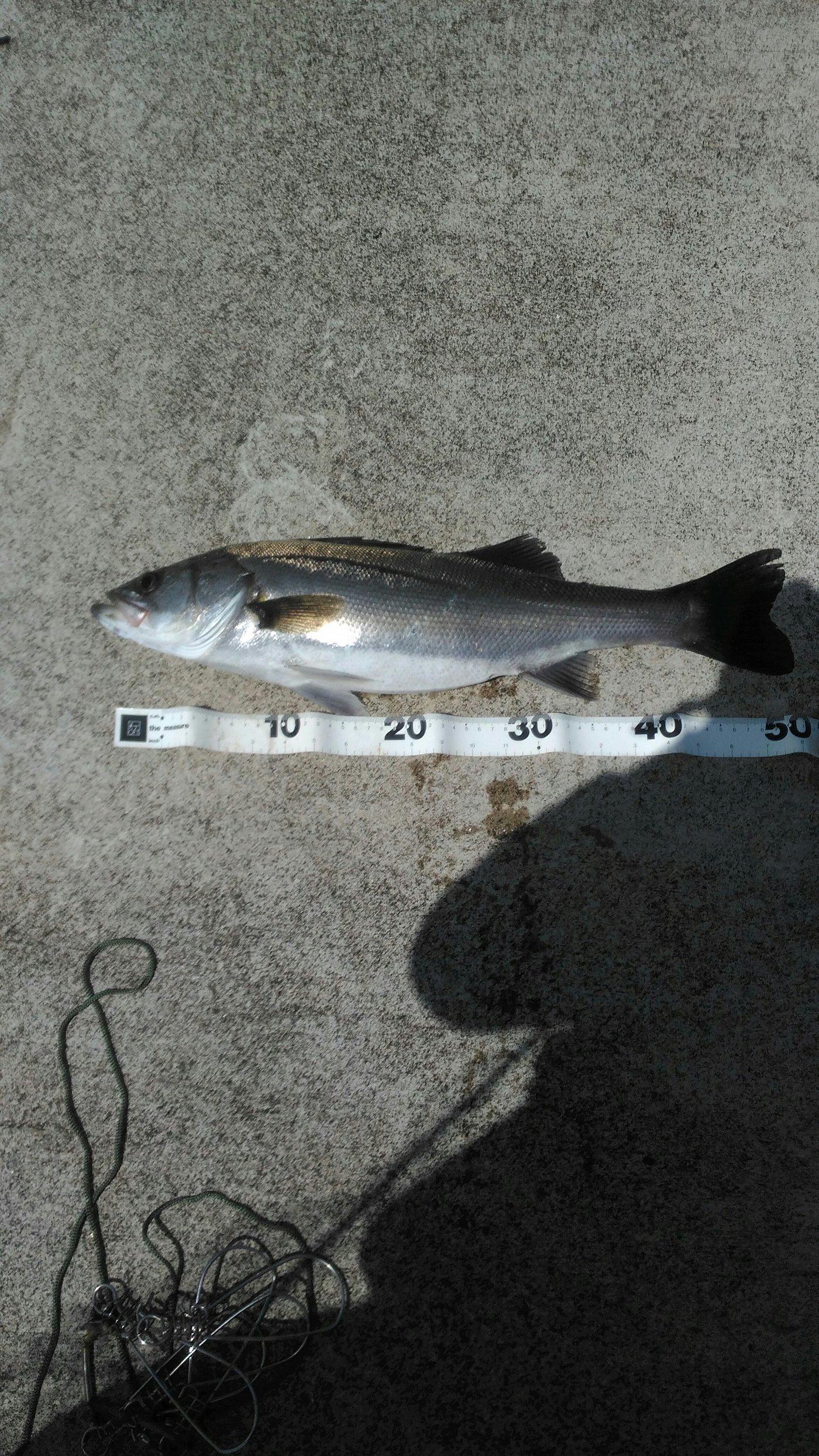 としさんの投稿画像,写っている魚はスズキ