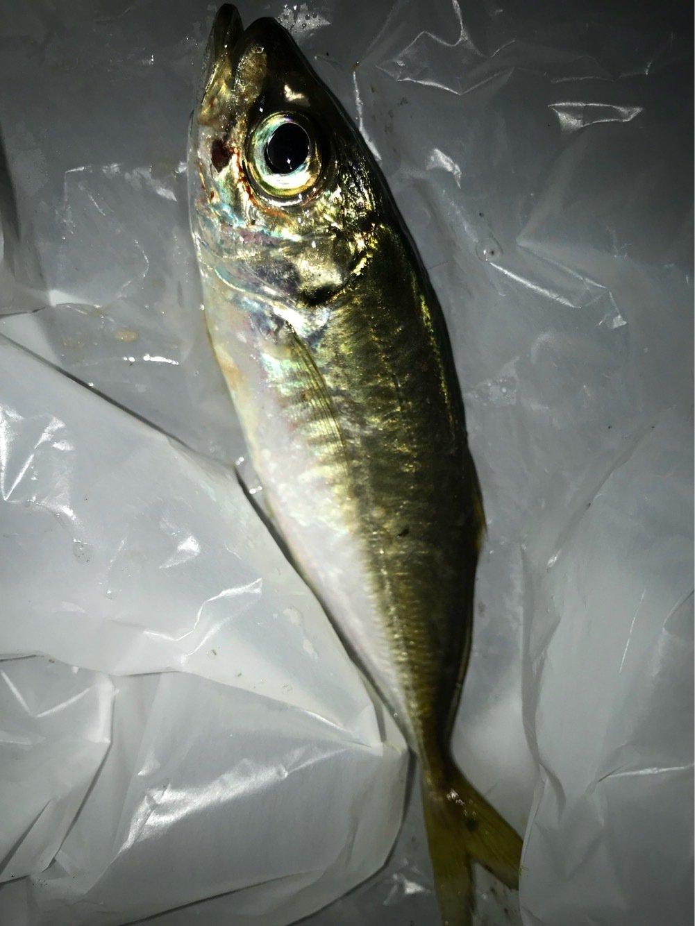 小物釣りさんの投稿画像,写っている魚はアジ