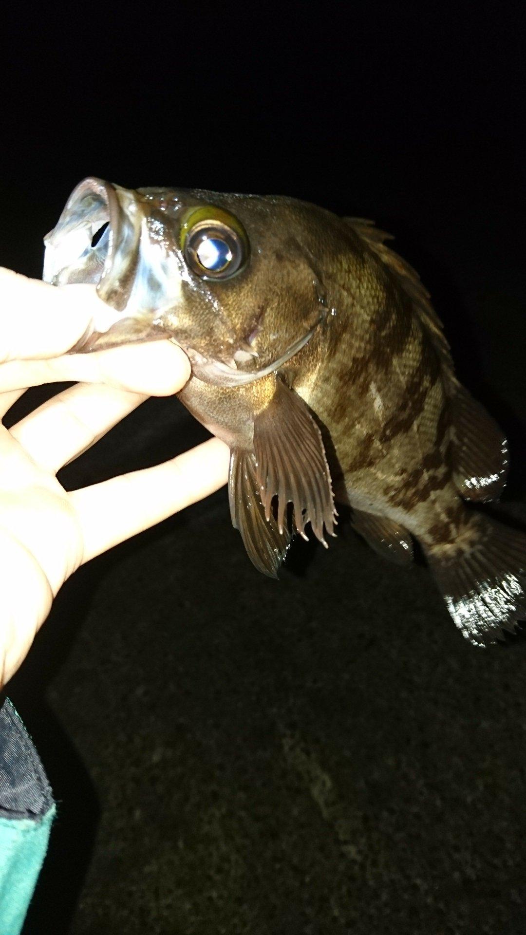 しばたさんの投稿画像,写っている魚はメバル